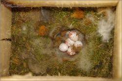 Búbos cinege tojások mesterséges fészekodúben - 2012. május, Mecsek