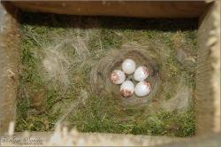 Búbos cinege tojások - 2014. május, Mecsek