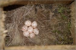 Cinege tojások mesterséges fészekodúban - 2013. május, Mecsek