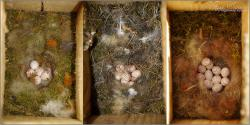 Búbos, kék és széncinege tojások összehasonlítása - 2012. május, Mecsek