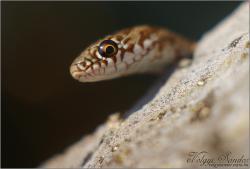 Kígyóarc - Haragos sikló - 2008. szeptember, Szársomlyó