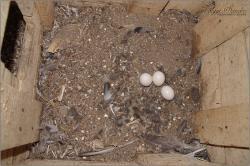 Macskabagoly fészekalj - 2014. március, Dél-Zselic