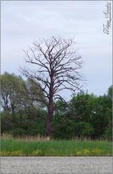 Az öreg éger - 2015. május, Pellérd