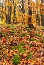 Őszi erdő - 2009. november, Mecsek