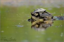 Párzó mocsári teknősök - 2010. április, Pelérd