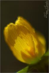 Tavaszi látomás - Téltemető - 2009. március, Dél-Zselic