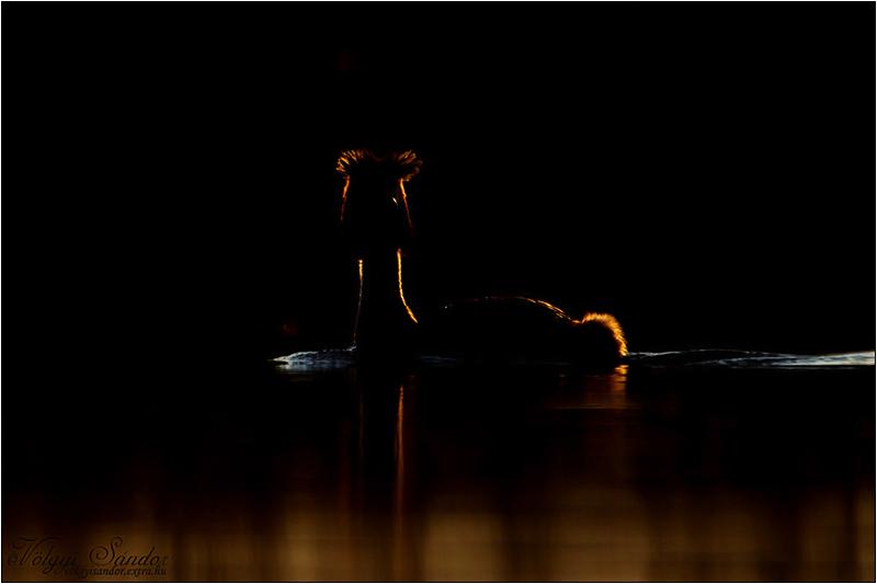 Búbos vöcsök - 2020. március, Pellérd