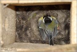 Mesterséges fészekodúban kotló széncinege - 2012. május, Mecsek
