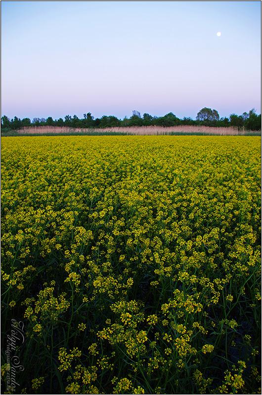 Kányafű virágzás - 2016. április, Pellérd